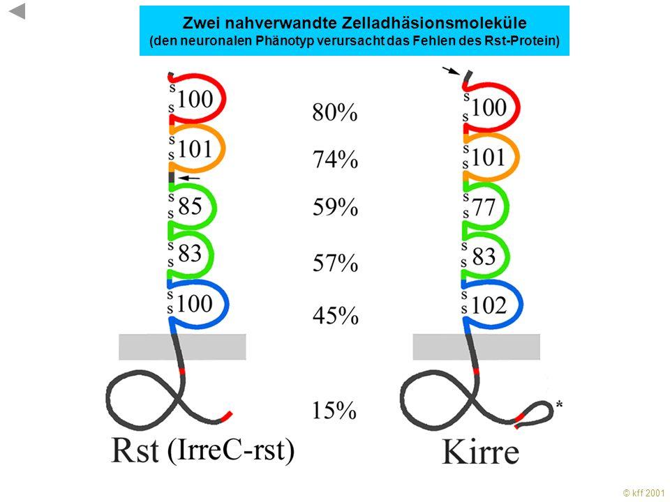 © kff 2001 KFF 2001 Optischer Lobus von Wildtype (A) und rst Mutante (B)