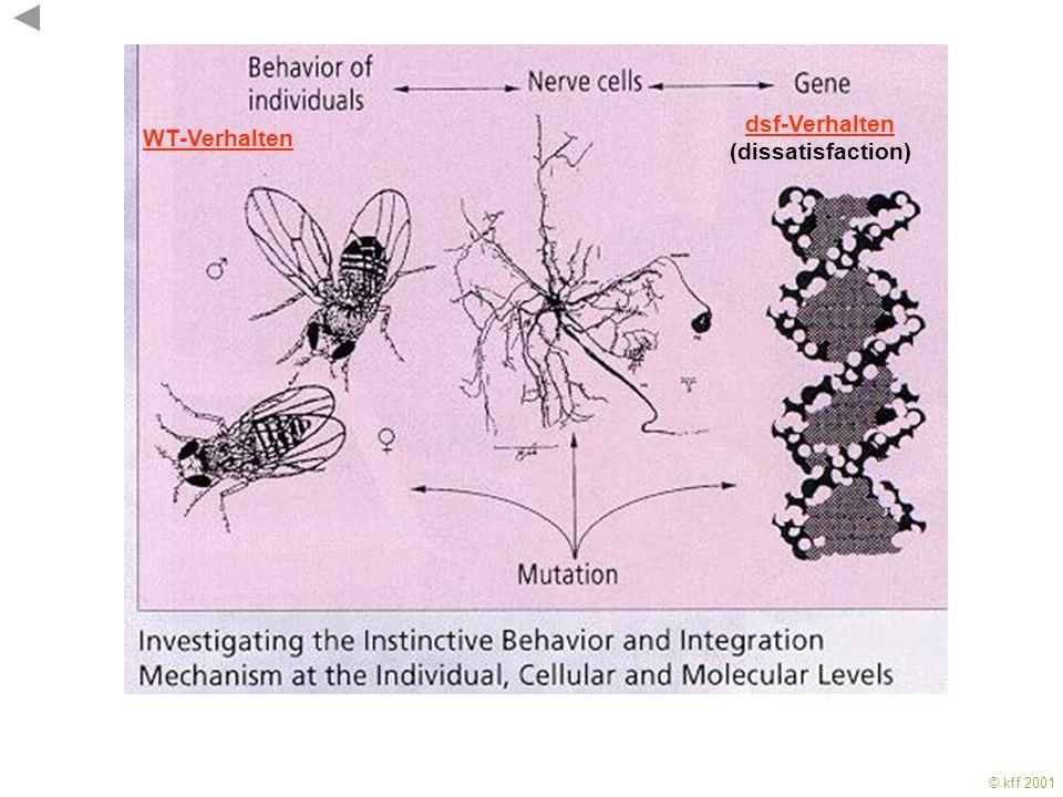 © kff 2001 KFF 2001 Sexualverhalten bei Drosophila