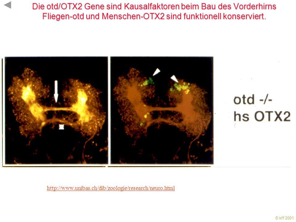 © kff 2001 KFF 2001 Die Expression konservierter Gene für Transkriptionsfaktoren untergliedert die Längsachse des NS