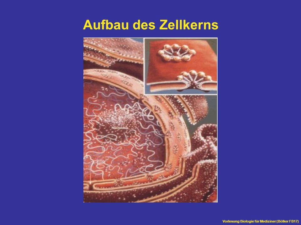 Aufbau des Zellkerns Vorlesung Biologie für Mediziner (Bölker FB17)