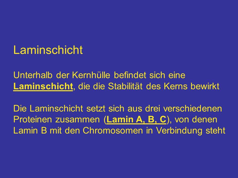 Laminschicht Unterhalb der Kernhülle befindet sich eine Laminschicht, die die Stabilität des Kerns bewirkt Die Laminschicht setzt sich aus drei versch