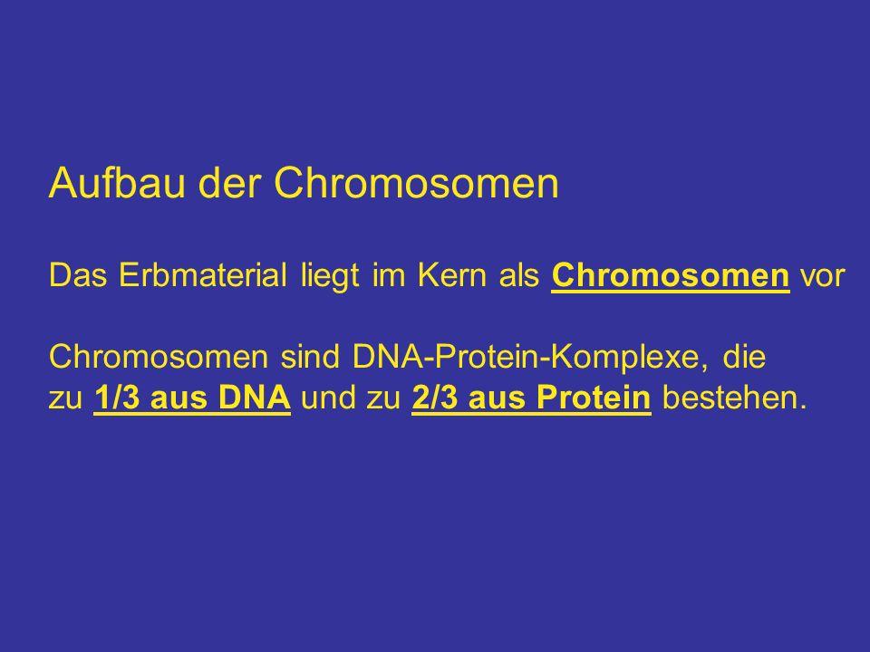 Aufbau der Chromosomen Das Erbmaterial liegt im Kern als Chromosomen vor Chromosomen sind DNA-Protein-Komplexe, die zu 1/3 aus DNA und zu 2/3 aus Prot
