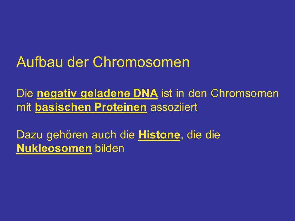 Aufbau der Chromosomen Die negativ geladene DNA ist in den Chromsomen mit basischen Proteinen assoziiert Dazu gehören auch die Histone, die die Nukleo