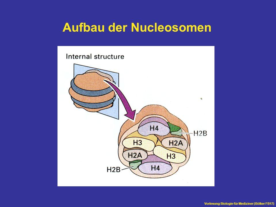 Vorlesung Biologie für Mediziner (Bölker FB17) Aufbau der Nucleosomen