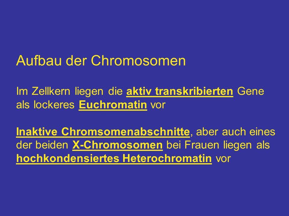 Aufbau der Chromosomen Im Zellkern liegen die aktiv transkribierten Gene als lockeres Euchromatin vor Inaktive Chromsomenabschnitte, aber auch eines d