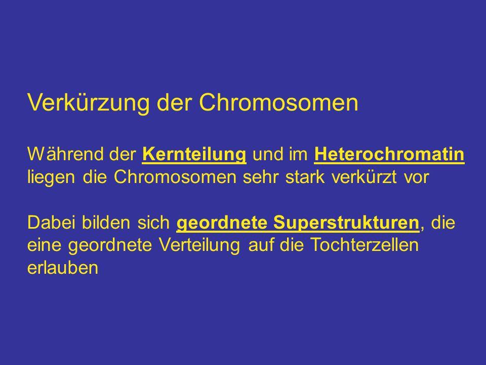 Verkürzung der Chromosomen Während der Kernteilung und im Heterochromatin liegen die Chromosomen sehr stark verkürzt vor Dabei bilden sich geordnete S