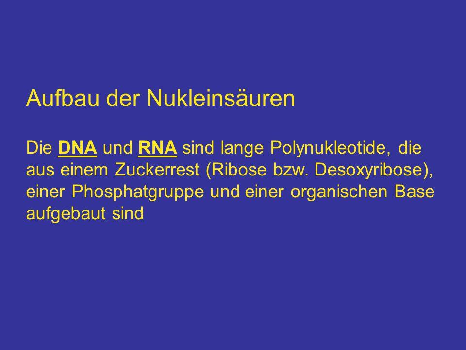 Aufbau der Nukleinsäuren Die DNA und RNA sind lange Polynukleotide, die aus einem Zuckerrest (Ribose bzw. Desoxyribose), einer Phosphatgruppe und eine