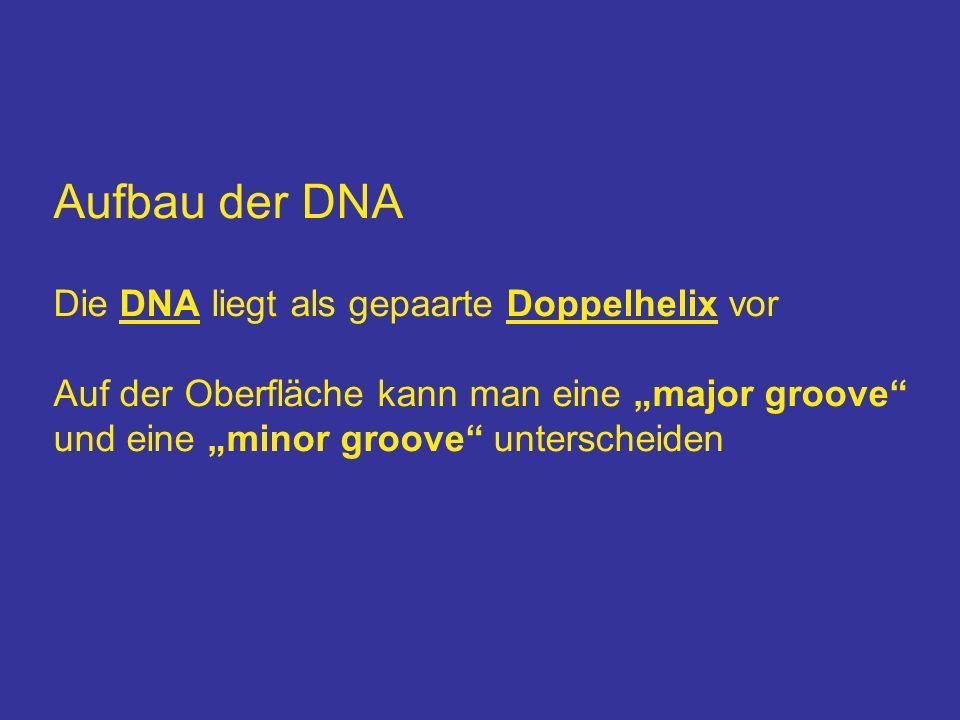 Aufbau der DNA Die DNA liegt als gepaarte Doppelhelix vor Auf der Oberfläche kann man eine major groove und eine minor groove unterscheiden
