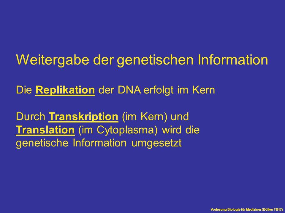 Weitergabe der genetischen Information Die Replikation der DNA erfolgt im Kern Durch Transkription (im Kern) und Translation (im Cytoplasma) wird die