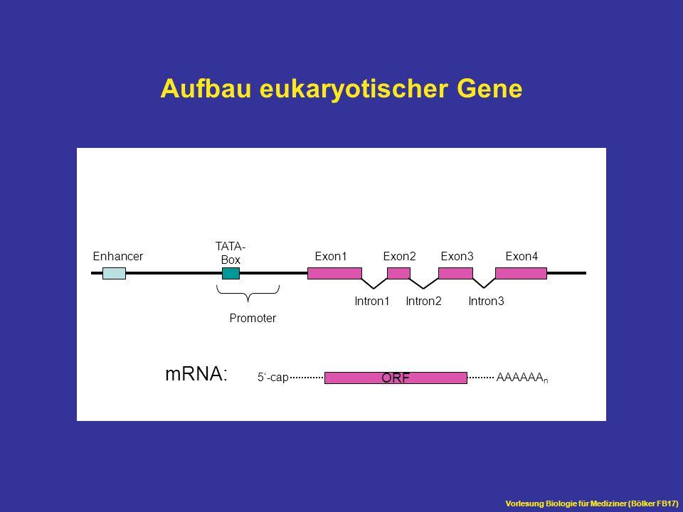 Vorlesung Biologie für Mediziner (Bölker FB17) Aufbau eukaryotischer Gene Exon1Exon2Exon3Exon4 Intron1Intron2Intron3 Enhancer TATA- Box Promoter ORF A