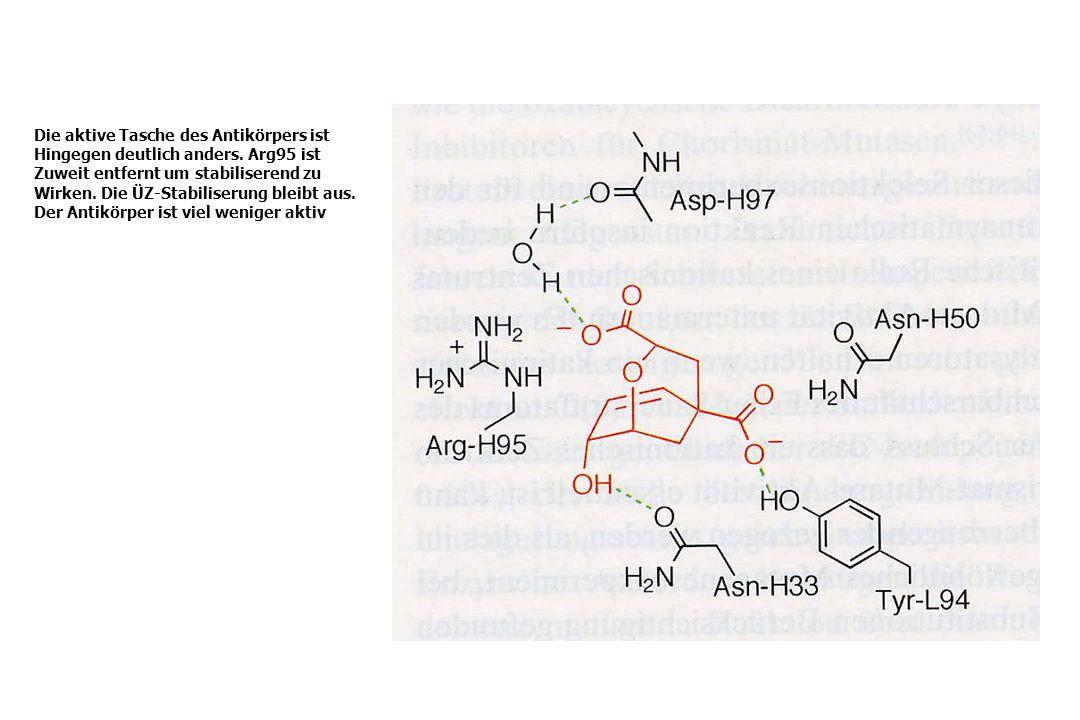 Die aktive Tasche des Antikörpers ist Hingegen deutlich anders. Arg95 ist Zuweit entfernt um stabiliserend zu Wirken. Die ÜZ-Stabiliserung bleibt aus.