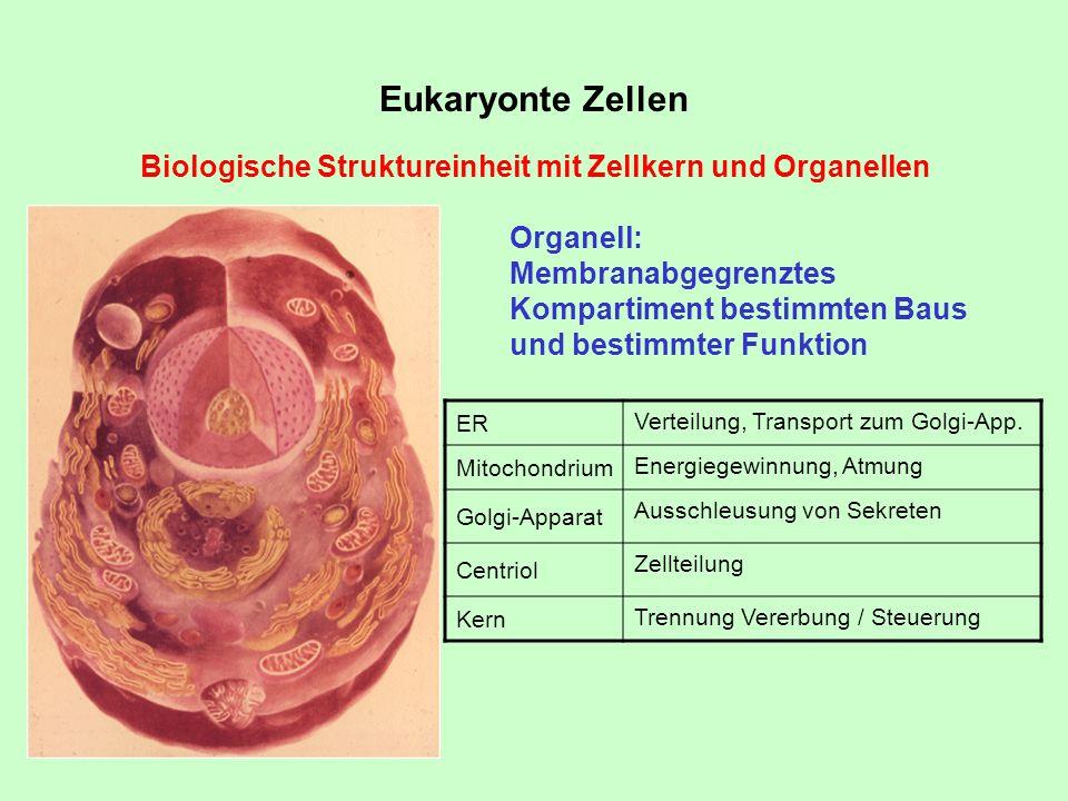 Eukaryonte Zellen Biologische Struktureinheit mit Zellkern und Organellen Organell: Membranabgegrenztes Kompartiment bestimmten Baus und bestimmter Fu