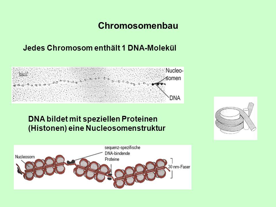 Chromosomenbau Jedes Chromosom enthält 1 DNA-Molekül DNA bildet mit speziellen Proteinen (Histonen) eine Nucleosomenstruktur