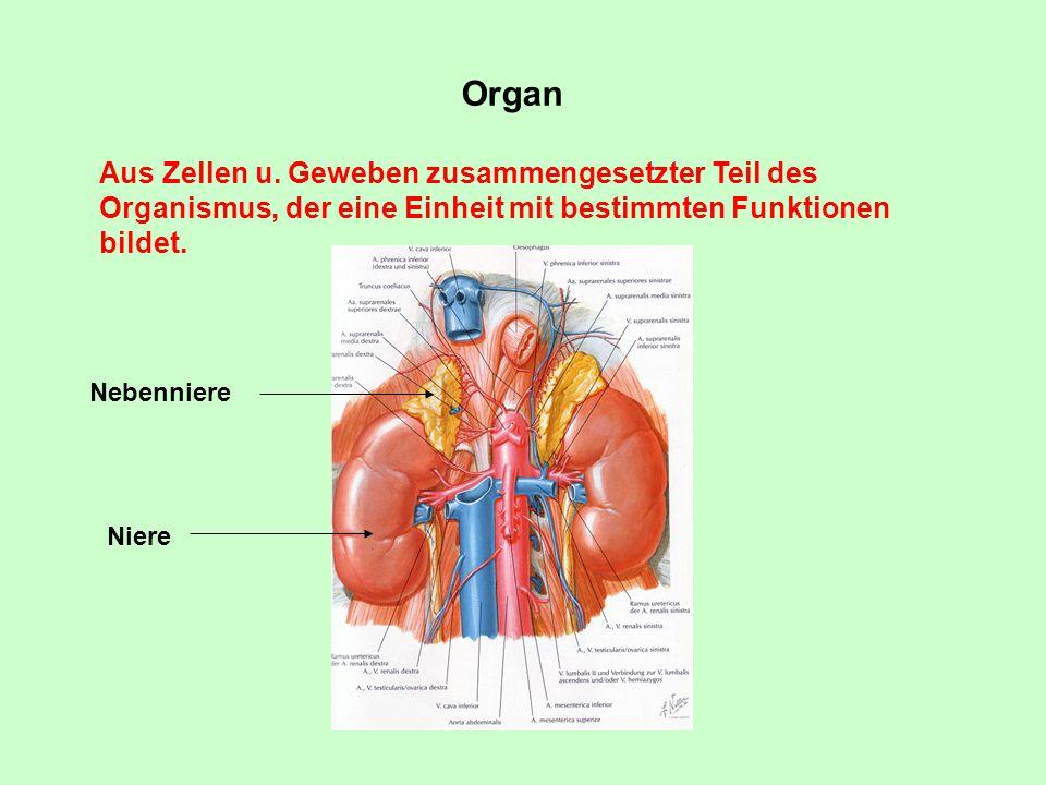 Organ Aus Zellen u. Geweben zusammengesetzter Teil des Organismus, der eine Einheit mit bestimmten Funktionen bildet. Niere Nebenniere