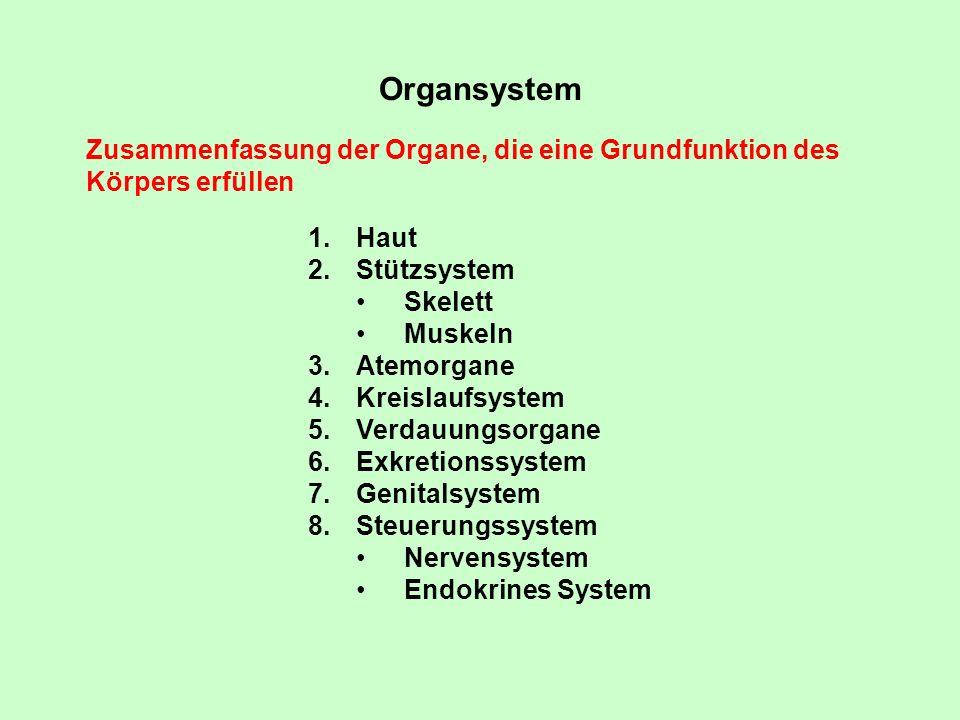 Organsystem Zusammenfassung der Organe, die eine Grundfunktion des Körpers erfüllen 1.Haut 2.Stützsystem Skelett Muskeln 3.Atemorgane 4.Kreislaufsyste