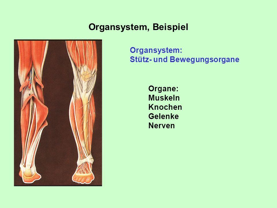 Organsystem, Beispiel Organsystem: Stütz- und Bewegungsorgane Organe: Muskeln Knochen Gelenke Nerven