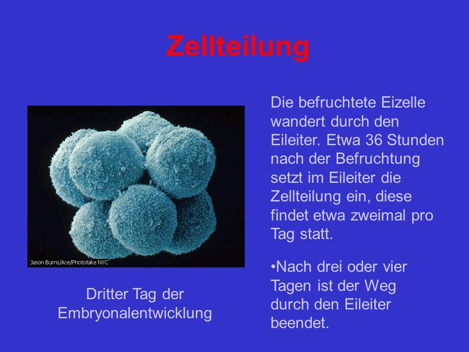 Zellteilung Die befruchtete Eizelle wandert durch den Eileiter.