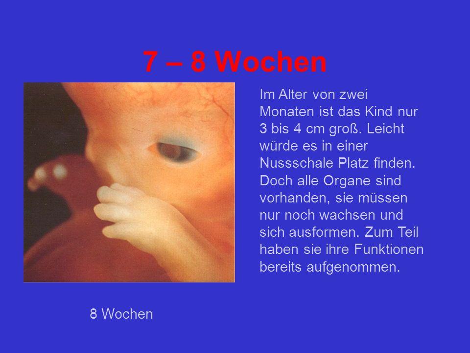 7 – 8 Wochen Im Alter von zwei Monaten ist das Kind nur 3 bis 4 cm groß.