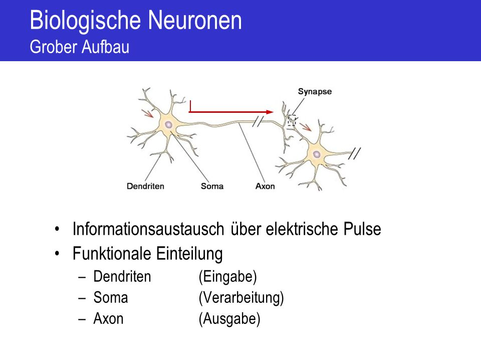 Biologische Neuronen Zellmembran Inneres Milieu Äußeres Milieu Phospholipid-Molekül Kanalprotein Ionenpumpen und Transportkanäle transportieren Ionen durch die Membran Transportkanäle werden abhängig vom Typ gesteuert durch –Liganden (chemische Botenstoffe) –Elektrische Spannungen –Mechanische Einflüsse K+K+ Na + K+K+ Ionenpumpe