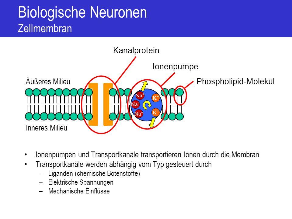 Biologische Neuronen Transportprozesse an der Zellmembran Aktiver Transport –Ionenpumpen –Huckepack mit passiven Transporten Passiver Transport –Semi-permeabilität durch Kanäle –Diffusion Inneres Milieu Äußeres Milieu K+K+ Na + K+K+ Treibende Kraft für passiven Transport –Elektrischer Gradient durch Ladungsungleichgewicht –Chemischer Gradient durch Konzentrationsgefälle K+K+ Na + Cl - K+K+ K+K+ K+K+ K+K+ K+K+ Na + Cl -