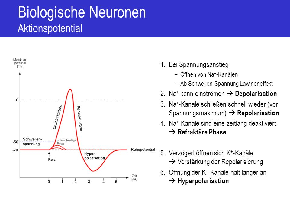 Biologische Neuronen Weiterleitung des Aktionspotential Leitungsgeschwindigkeit hängt ab von –Schwannsche Zellen mit Einschnürungen sprunghafte Weiterleitung –Dicke des Axons geringerer Widerstand Geschwindigkeiten zwischen 1 m/s (langsamer Schmerz) und 90 m/s (Ansteuerung der Muskelspindeln) +20 0 -20 -40 -60 -80 Aktionspotential Ruhepotential + + + K+ Na+ + + + Na+ Hyperpolarisation - - - - - - -