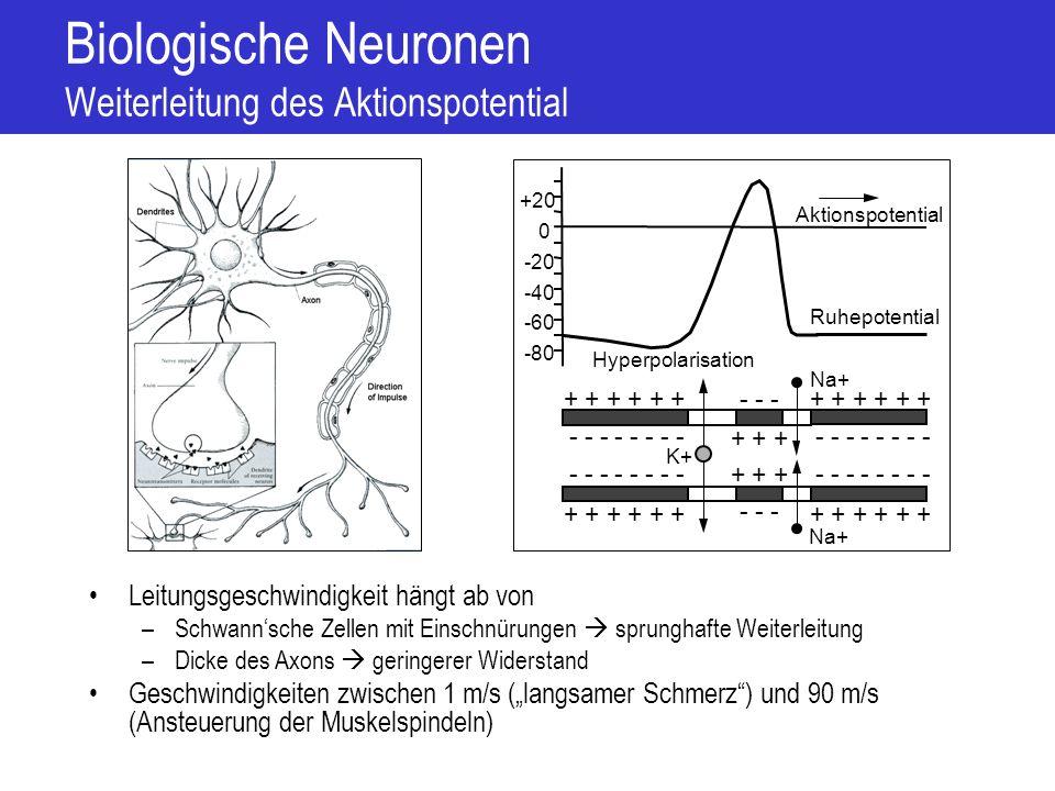 Biologische Neuronen Chemische Synapsen Aktionspotential initiiert Ca 2+ -Einstrom Ca 2+ -Ionen lösen Neurotransmitter-Ausschüttung aus Neurotransmitter öffnen an Dendriten Ionenkanäle Einfliessende Ionen ändern Membranpotential Post-Synaptisches Potential (PSP) Stärke (Gewicht) der Synapse = Stärke des Post-Synaptischen Potentials –Abhängig von der Anzahl chemisch-sensibler Ionenkanäle Prä-synaptisch Post-synaptisch