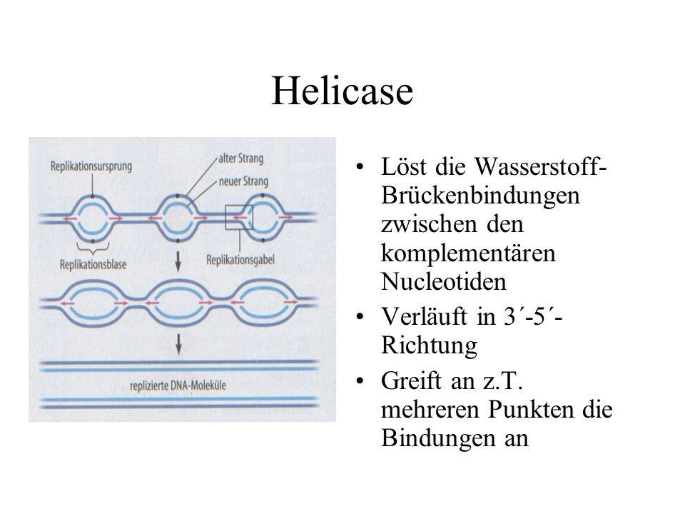 Helicase Löst die Wasserstoff- Brückenbindungen zwischen den komplementären Nucleotiden Verläuft in 3´-5´- Richtung Greift an z.T.