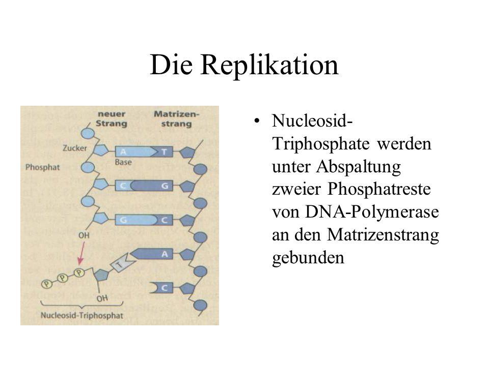 Die Replikation Nucleosid- Triphosphate werden unter Abspaltung zweier Phosphatreste von DNA-Polymerase an den Matrizenstrang gebunden
