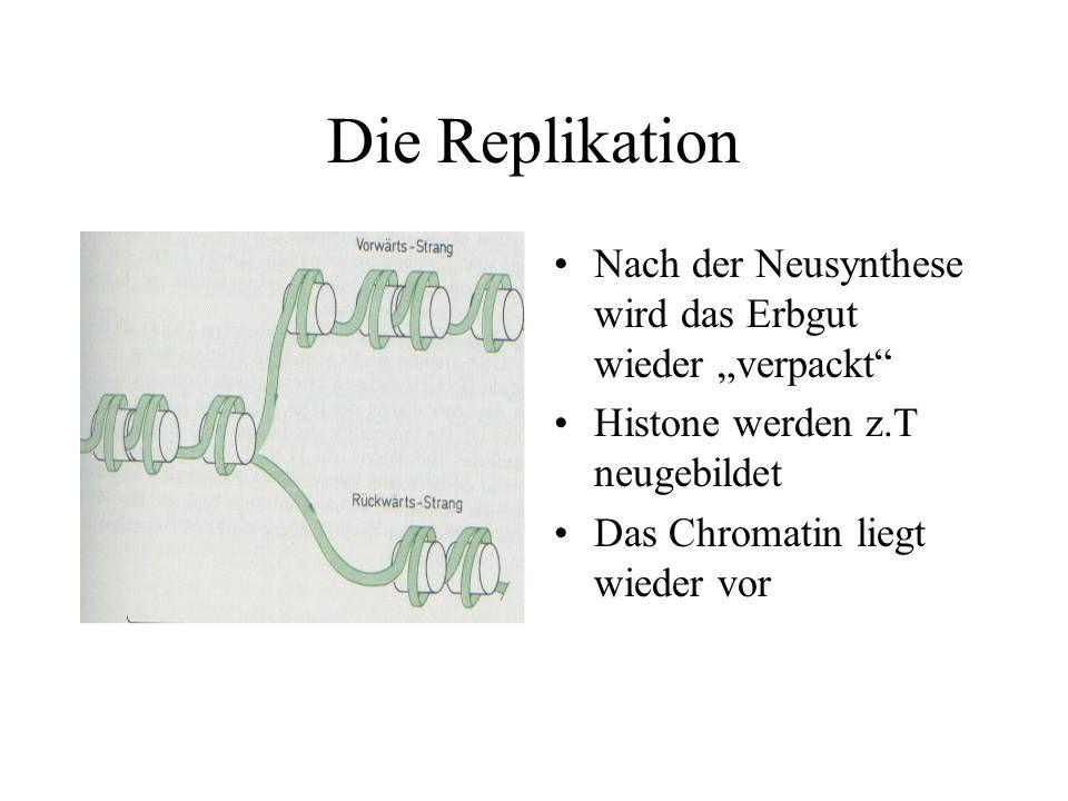 Die Replikation Nach der Neusynthese wird das Erbgut wieder verpackt Histone werden z.T neugebildet Das Chromatin liegt wieder vor