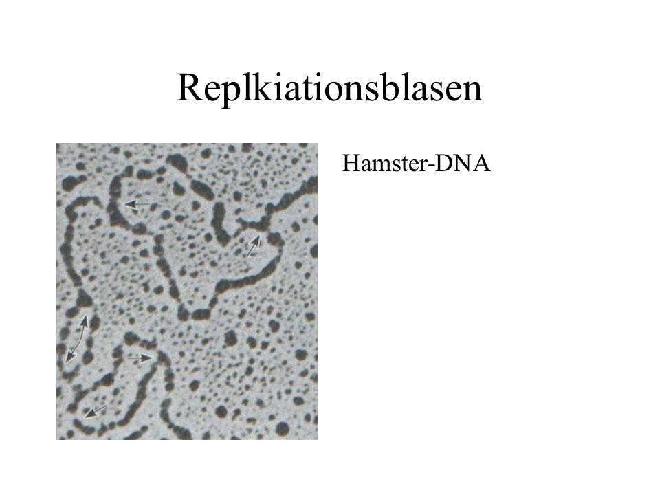 Replkiationsblasen Hamster-DNA