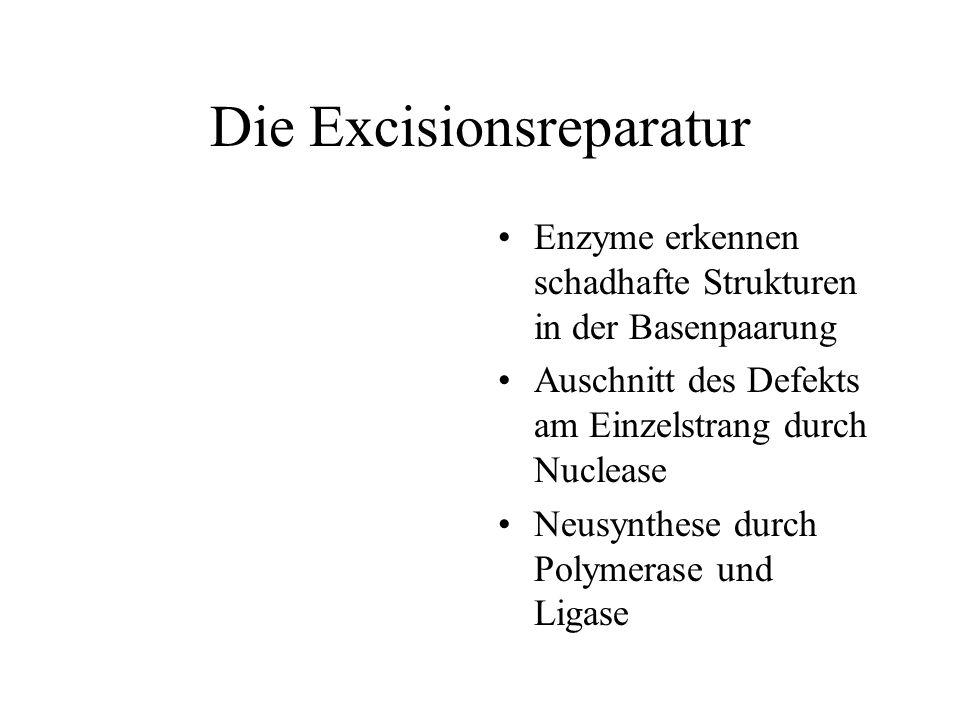 Die Excisionsreparatur Enzyme erkennen schadhafte Strukturen in der Basenpaarung Auschnitt des Defekts am Einzelstrang durch Nuclease Neusynthese durch Polymerase und Ligase