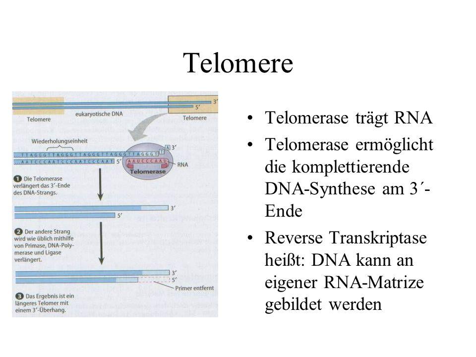 Telomere Telomerase trägt RNA Telomerase ermöglicht die komplettierende DNA-Synthese am 3´- Ende Reverse Transkriptase heißt: DNA kann an eigener RNA-Matrize gebildet werden
