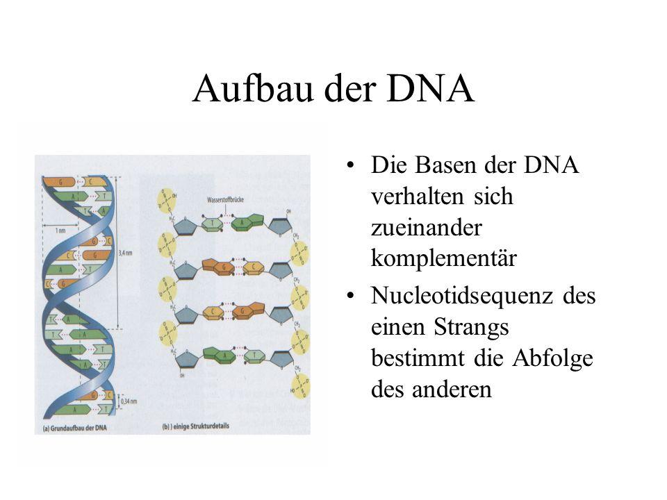 Aufbau der DNA Die Basen der DNA verhalten sich zueinander komplementär Nucleotidsequenz des einen Strangs bestimmt die Abfolge des anderen