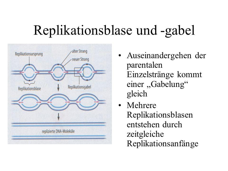 Replikationsblase und -gabel Auseinandergehen der parentalen Einzelstränge kommt einer Gabelung gleich Mehrere Replikationsblasen entstehen durch zeitgleiche Replikationsanfänge