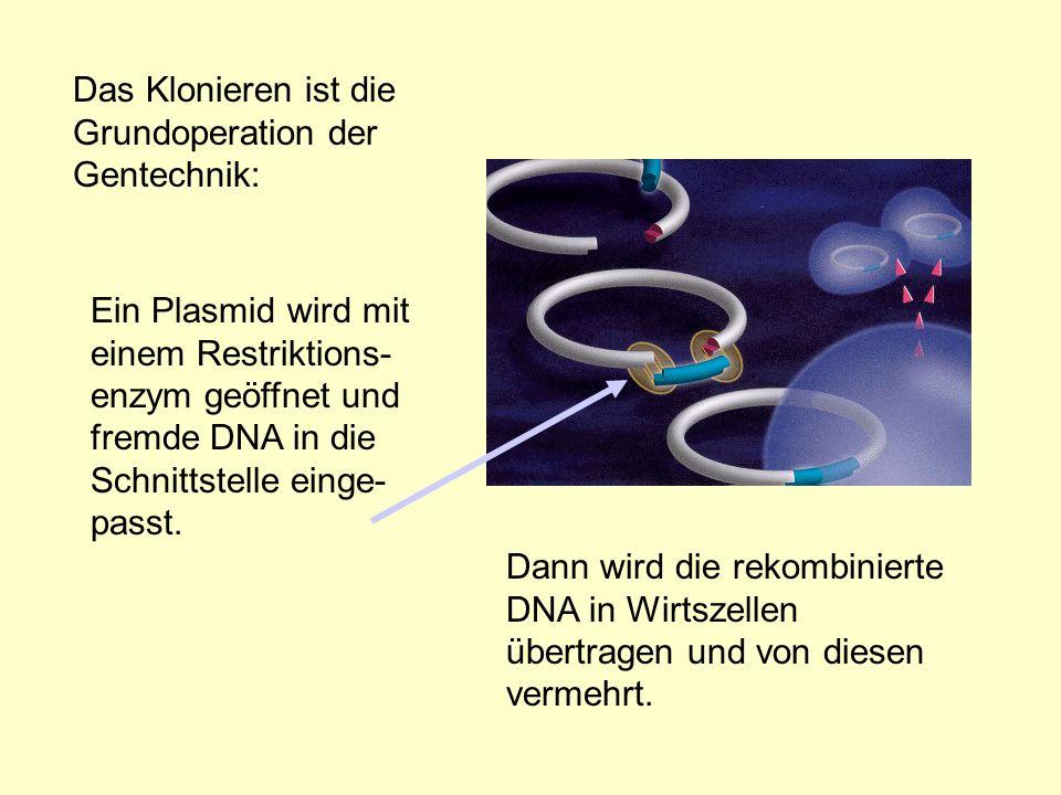 Das Klonieren ist die Grundoperation der Gentechnik: Dann wird die rekombinierte DNA in Wirtszellen übertragen und von diesen vermehrt. Ein Plasmid wi