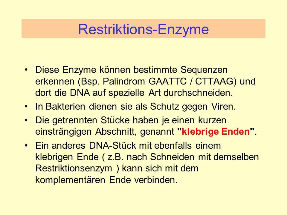 Restriktions-Enzyme Diese Enzyme können bestimmte Sequenzen erkennen (Bsp. Palindrom GAATTC / CTTAAG) und dort die DNA auf spezielle Art durchschneide