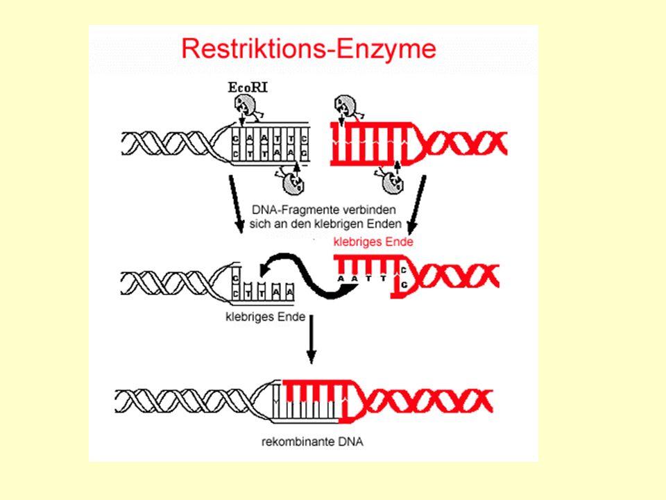 Schematisch: Präzisionsarbeit: Restriktionsenzyme zerlegen die DNA exakt an genau definierten Stellen in handhabbare Bruchstücke