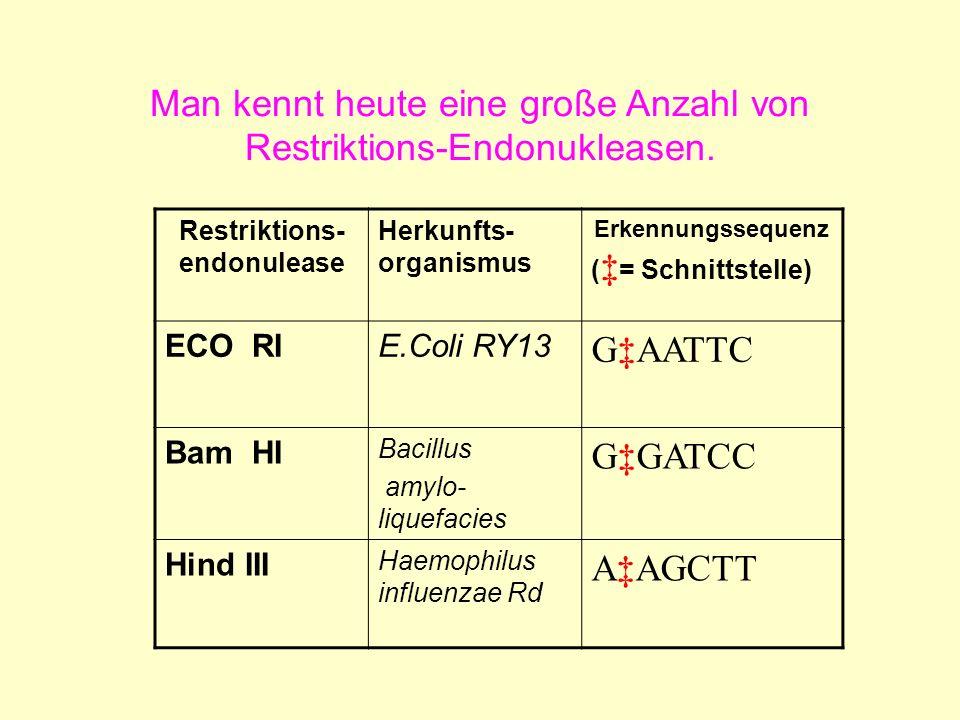 Man kennt heute eine große Anzahl von Restriktions-Endonukleasen. Restriktions- endonulease Herkunfts- organismus Erkennungssequenz ( = Schnittstelle)