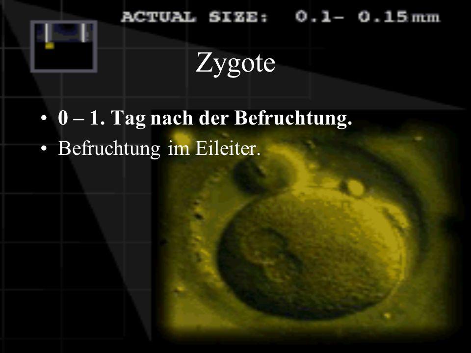 Zygote 0 – 1. Tag nach der Befruchtung. Befruchtung im Eileiter.