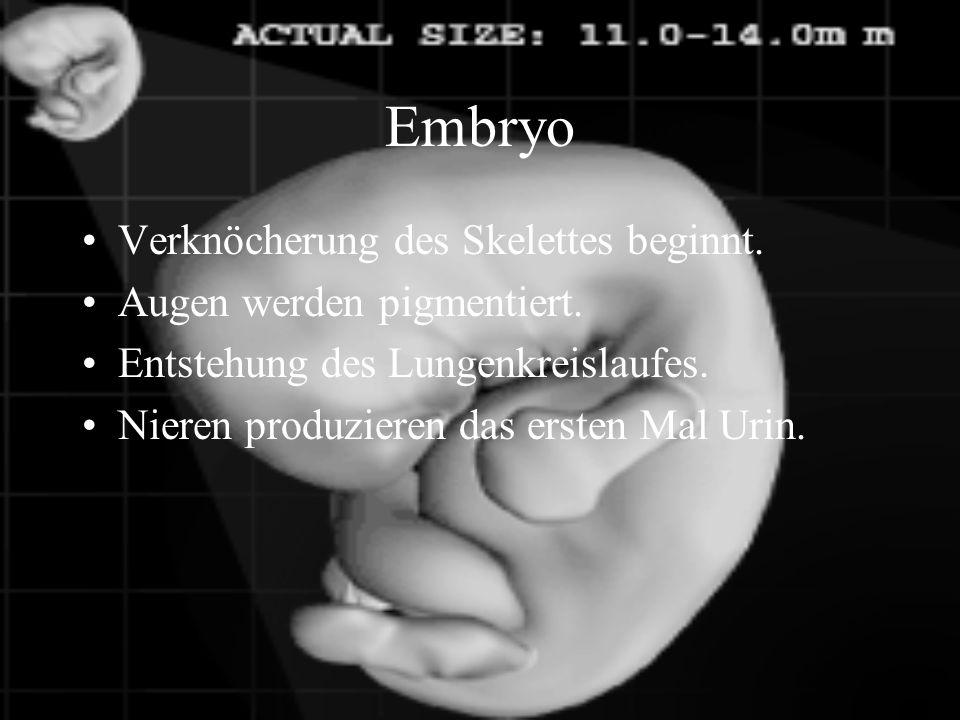 Embryo 6. Woche Das Herz hat nun 4 Kammern. Der Magen und Darmtrakt entwickelt sich.