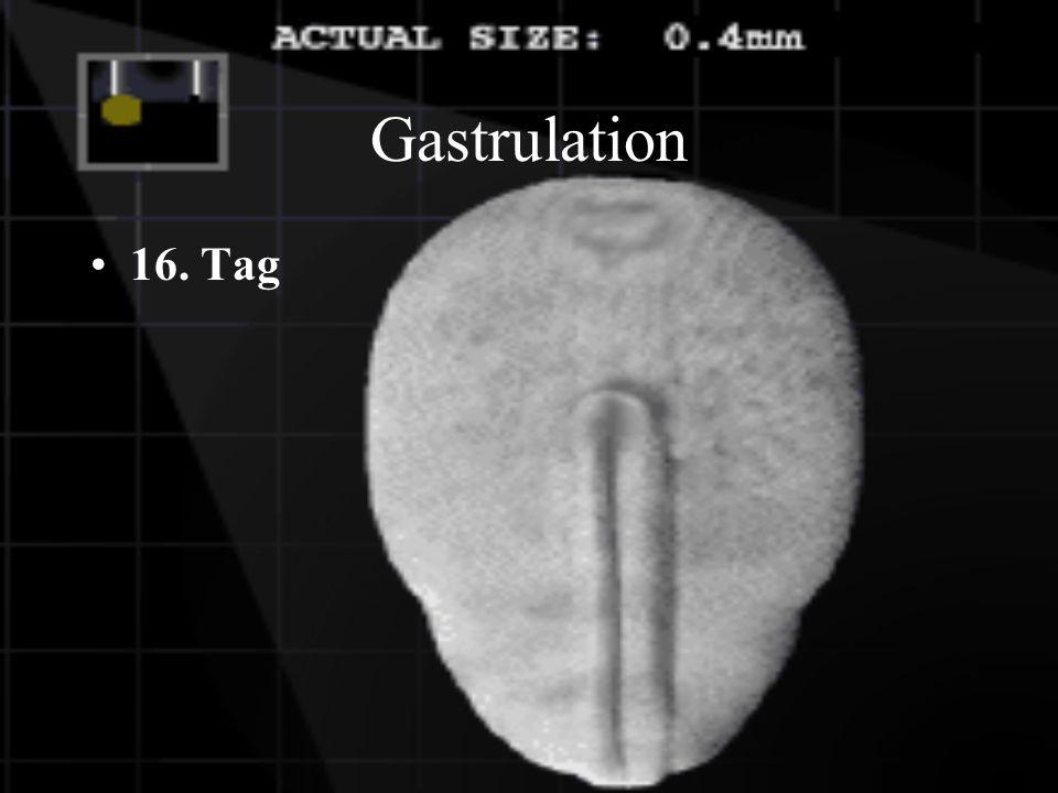 Gastrulation 13. Tag Bildung von Blutgefässen Bildung der 3 Keimblätter (Ektoderm, Mesoderm und Entoderm)