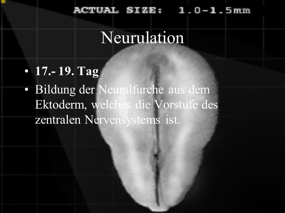 Embryo 8.Woche Das Gehirn verbindet sich mit den Muskeln.