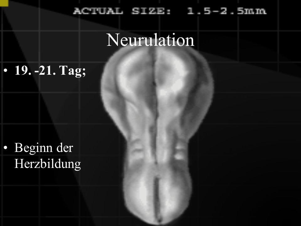 Neurulation 17.- 19. Tag Bildung der Neuralfurche aus dem Ektoderm, welches die Vorstufe des zentralen Nervensystems ist.