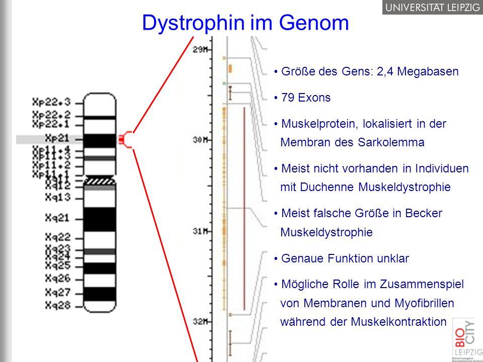 Dystrophin im Genom Größe des Gens: 2,4 Megabasen 79 Exons Muskelprotein, lokalisiert in der Membran des Sarkolemma Meist nicht vorhanden in Individue