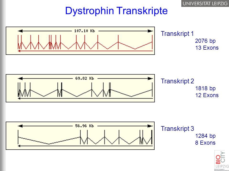 Dystrophin Transkripte Transkript 1 2076 bp 13 Exons Transkript 3 1284 bp 8 Exons Transkript 2 1818 bp 12 Exons
