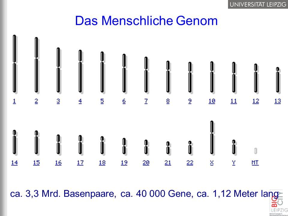 Das Menschliche Genom ca. 3,3 Mrd. Basenpaare, ca. 40 000 Gene, ca. 1,12 Meter lang