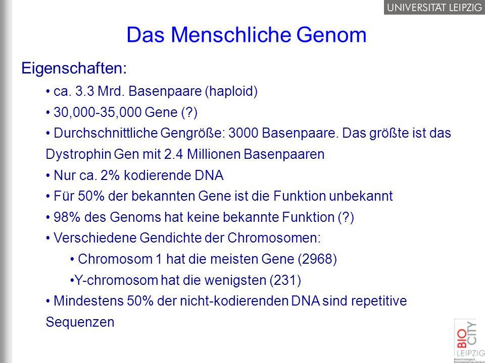 Eigenschaften: ca. 3.3 Mrd. Basenpaare (haploid) 30,000-35,000 Gene (?) Durchschnittliche Gengröße: 3000 Basenpaare. Das größte ist das Dystrophin Gen