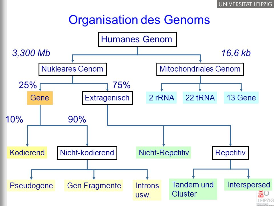 Organisation des Genoms Humanes Genom 2 rRNA22 tRNA13 Gene GeneExtragenisch 25%75% Nicht-kodierend Kodierend 10%90% Introns usw. Gen FragmentePseudoge