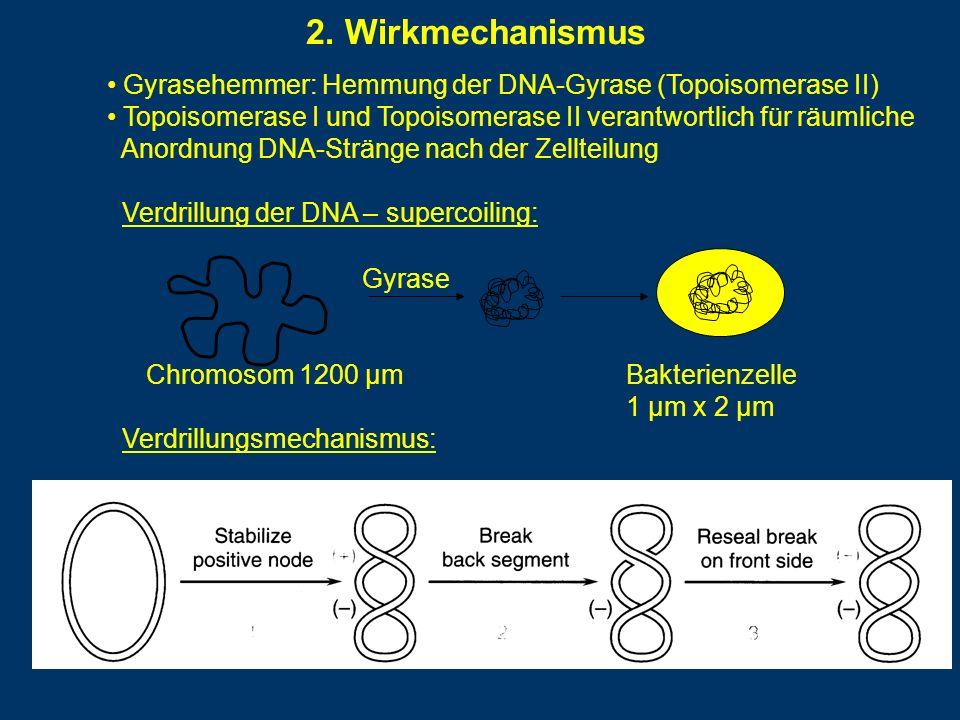 2. Wirkmechanismus Gyrasehemmer: Hemmung der DNA-Gyrase (Topoisomerase II) Topoisomerase I und Topoisomerase II verantwortlich für räumliche Anordnung