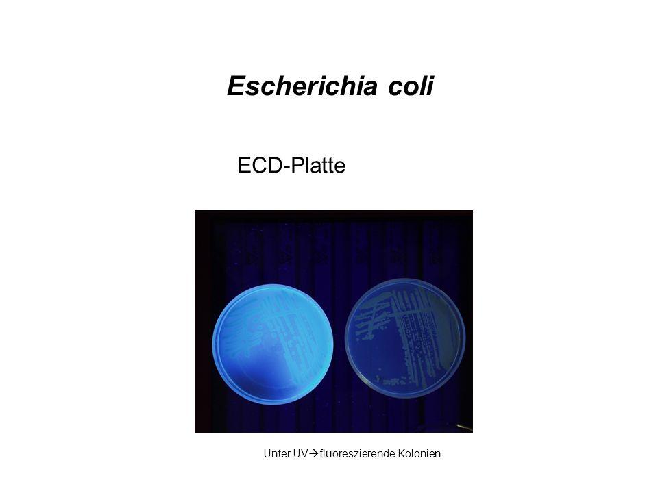 Escherichia coli ECD-Platte Unter UV fluoreszierende Kolonien